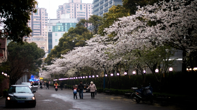 5. Pretend you're in Japan and check out the cherry blossoms in spring