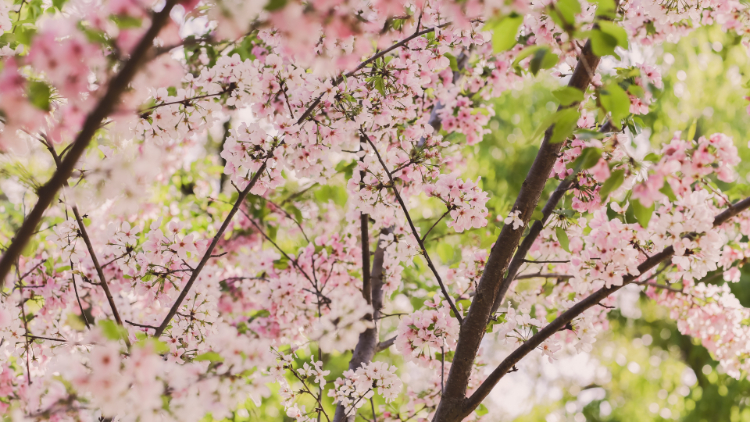 3 city parks to spot cherry blossoms this spring