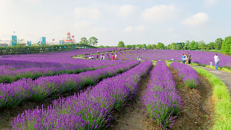 Win a pair of tickets to the Shanghai Lavender Festival