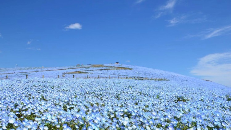 Nemophila in Hitachi Seaside Park, Japan