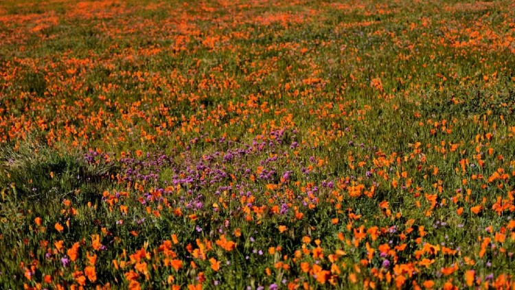 Antelope Valley Poppy Reserve, USA
