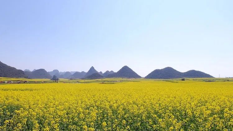 Rapeseed fields in Yunnan, China