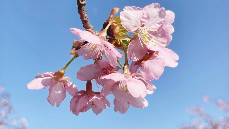 5 places to see the spring blossoms in Shanghai